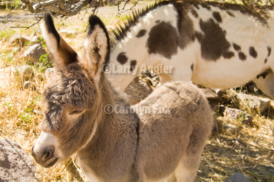 A baby burro stands around sleeping in Ariz.