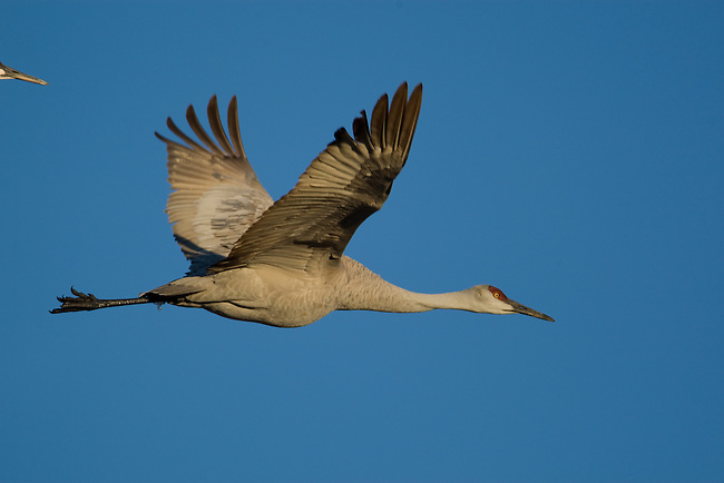 Sandhill Crane in flight, blue sky in background, Bosque Del Apache National Wildlife Refuge, New Mexico, USA, December 18, 2007.  Photo by Gus Curtis