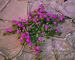 Sand Verbena, Abronia villosa, Anza-Borrego Desert State Park, California