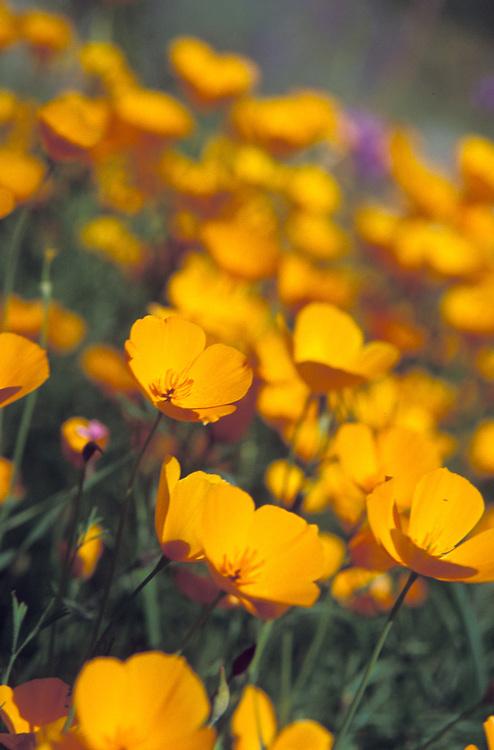 California Poppies, Mendocino California