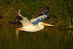 White Pelican in Flight at Sunset, American White Pelican, Sepulveda Wildlife Refuge, Southern California