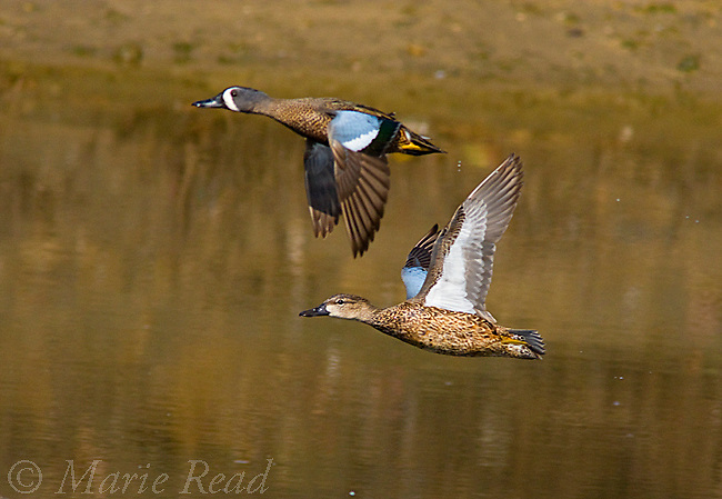 Blue-winged Teal (Anas discors), male and female in flight, Bolsa Chica Ecological Reserve, California, USA