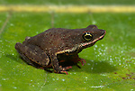 True Toad, Dendrophryniscus minutus, on leaf in jungle, Iquitos, Northern Peru, brown, . .South America....