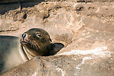 GALAPAGOS ISLANDS, ECUADOR, Isabela Island, Punta Vicente Roca, exploring the dramatic volcanic coastline, Galapagos Sealion rests on the rocks