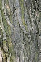 Hainbuche, Hain-Buche, Weißbuche, Weissbuche, Rinde, Borke, Stamm, Baumstamm, Carpinus betulus, Common Hornbeam, Hornbeam, bark, rind, trunk, stem, Charme commun, Charmille