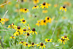 Brazoria County, Damon, Texas; a field of black-eyed susan (Rudbeckia hirta) wildflowers growing in the pasture