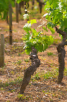 An old vine in the typical gravely sandy Graves soil Chateau Bouscaut Cru Classe Cadaujac Graves Pessac Leognan Bordeaux Gironde Aquitaine France