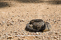 02907-00502 Timber Rattlesnake (Crotalus horridus) in road, Iron Co.  MO