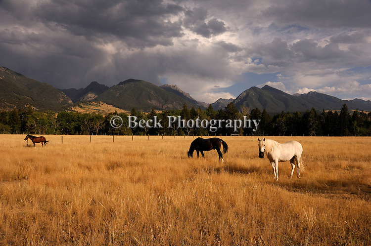 Horses in pasture in Montana.