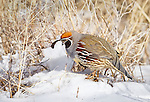 Male Gambel's Quail perched on ground in snow