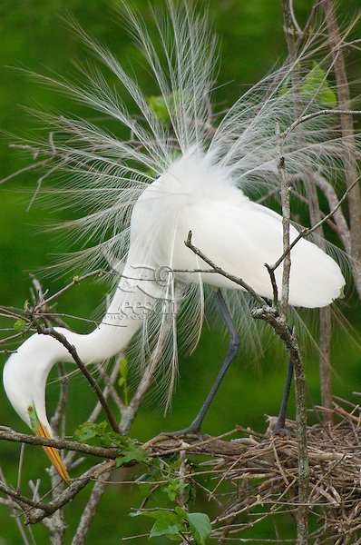 Great or Common Egret working on nest.  Southern U.S., May.