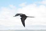 frigate bird flying along santiago coast