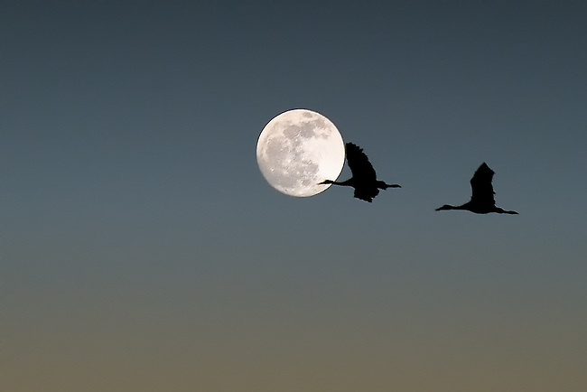 Two sandhill crane birds flying past a full moon at sunset in Bosque del Apache National