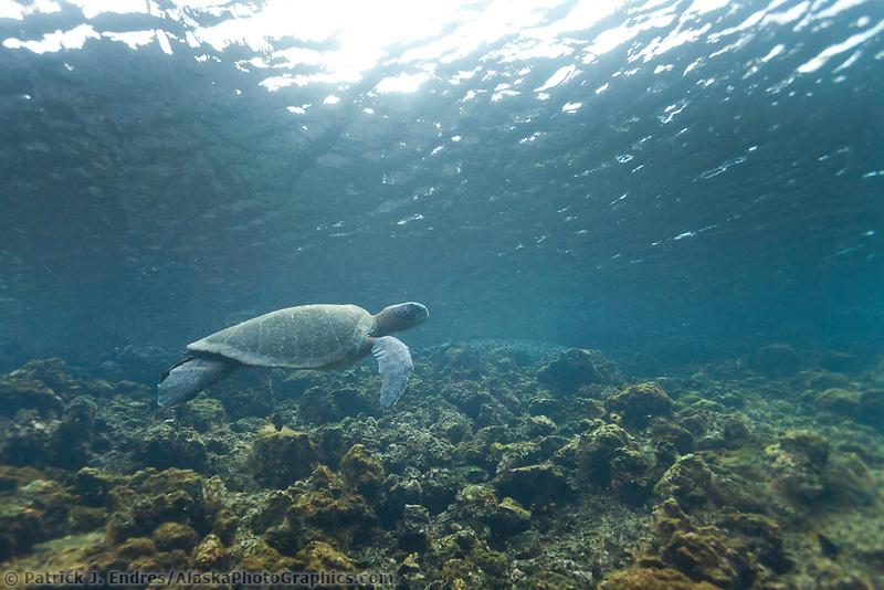 Galapagos Green sea turtle, Isabella Island, Galapagos Islands, Ecuador.