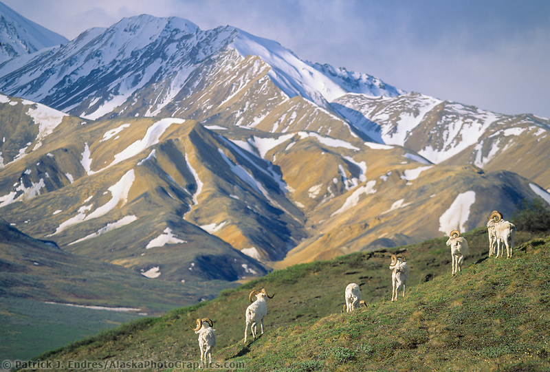 Dall sheep rams stand alert on a mountain ridge overlooking Polychrome mountains, Denali National Park, Alaska.