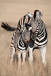 Plains zebra, Equus burchelli, with foal, Etosha national park, Namibia, Africa