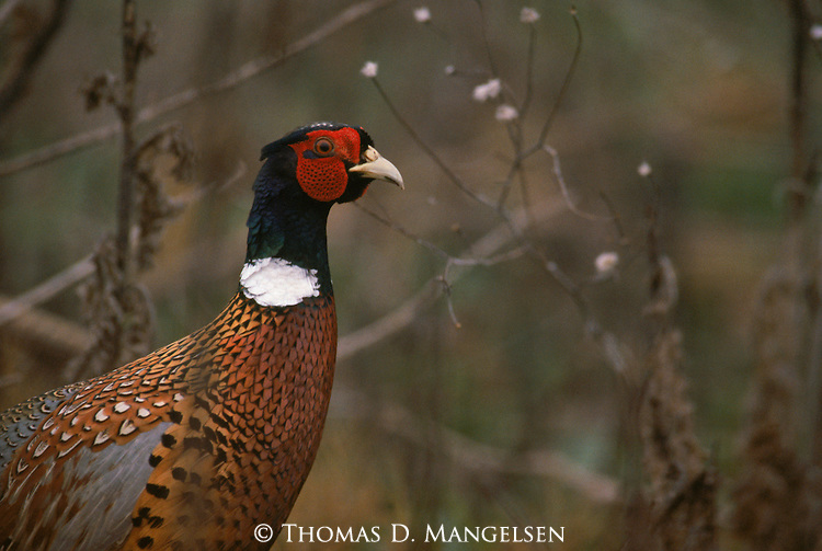 Portrait of a pheasant.