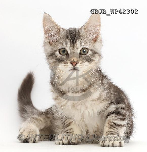 Kim, ANIMALS, REALISTISCHE TIERE, ANIMALES REALISTICOS, fondless, photos,+Silver tabby kitten, Loki, 11 weeks old, sitting,++++,GBJBWP42302,#a#