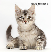 Kim, ANIMALS, REALISTISCHE TIERE, ANIMALES REALISTICOS, fondless, photos,+Silver tabby kitten, Loki, 11 weeks old, sitting,++++,GBJBWP42302,#a#