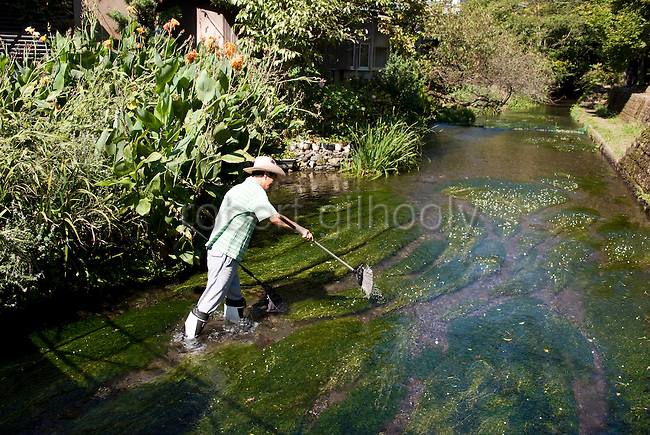 Volunteer Toji Yamaguchi tends to the Baikomo aquatic plant growing in the Genbe River in Mishima, Shizuoka Prefecture Japan on 02 Oct. 2012.  Photographer: Robert Gilhooly