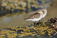 Juvenile Western Sandpipers roosting on coastal rocks durinf fall migration (Calidris mauri). Neah Bay, Washington. August.