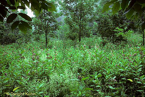 MK16-004d  Milkweed - field of milkweed plants in bloom - Asclepias syriaca
