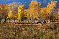 Fall Aspens, Eastern Sierra