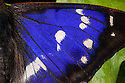 Purple Emperor butterfly {Apatura iris} male, close up of wing showing iridescent purple scales. Captive, UK