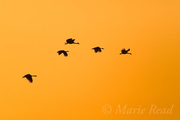 Magpie Geese (Anseranas semipalmatus) flock in flight at sunrise, Mamukala Wetlands, Kakadu National Park, Northern Territory, Australia