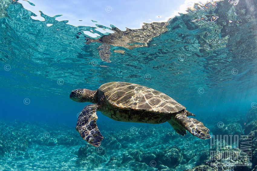 An underwater reflection of a green sea turtle in Lahaina, Maui.