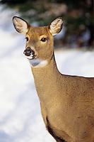 White-tailed deer (Odocoileus virginianus) doe.