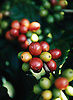 Crave Coffee: Coffee cherries (fruit of the Coffea species) in Byron Bay NSW Australia