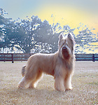 King of the Briards at sunrise. Sire to 175 champions, Flynn sired more champions, and won more points at dog shows than any other dog in the history of the breed. Shopping cart has 3 Tabs:<br />