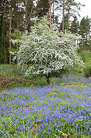 Hawthorn bush in blossom with bluebells, Forest of Dean, Gloucestershire.