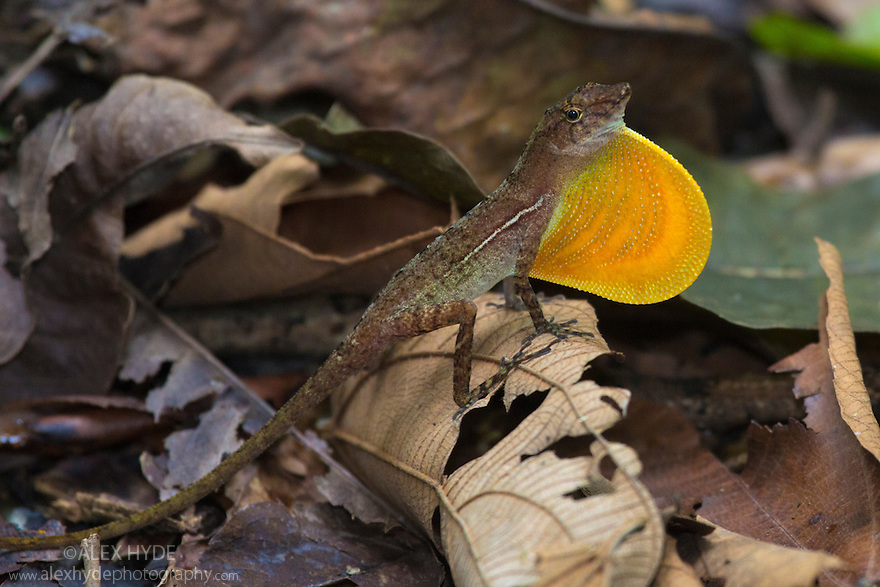 Golfo Dulce Anole / Many-scaled Anole male {Norops / Anolis polylepis}. The male signals to other members of its species by flashing a section of brightly coloured skin on its neck, known as a dewlap. Endemic to the Golfo Dulce region of Costa Rica. Corcovado National Park, Osa Peninsula, Costa Rica, May.