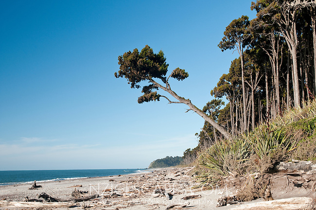 Bruce Bay and kahikatea trees - South Westland