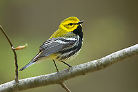 Adult male Black-throated Green Warbler (Dendroica virens). Tompkins County, New York. May.