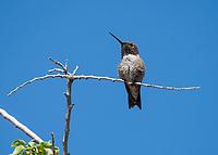 Male Black-chinned Hummingbird, Archilochus alexandri, in the Riparian Preserve at Water Ranch, Gilbert, Arizona