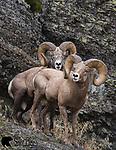 Bighorn sheep rams in rut. Western Montana.