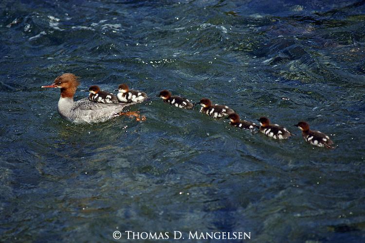 A mother Merganser has a long line of ducklings follow her through blue waters.