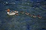 A mother Merganser has a long line of ducklings follow her through blue waters.