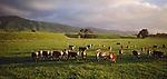 Hereford cattle on green farmland in Linton area. Manawatu/Whanganui Region. New Zealand.