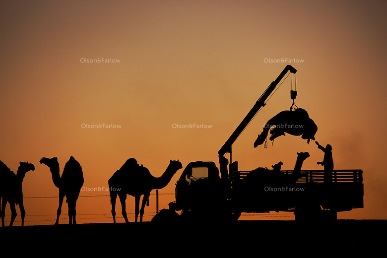 Although camels can walk miles in the desert, these prized animals were trucked through confusing borders of neighboring Arab countries.  A hoist lifts a camel into the truck for his journey home.