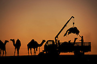 Camel Beauty Contest-Camel Pageant: Isn't She Lovely? August 2009 National Geographic Magazine