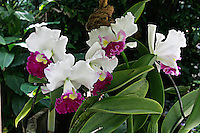 Orchid photographed at Hawaii Tropical Botanical Garden, Hilo, Hawaii.