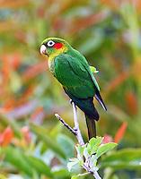 Sulphur-Winged Parakeet