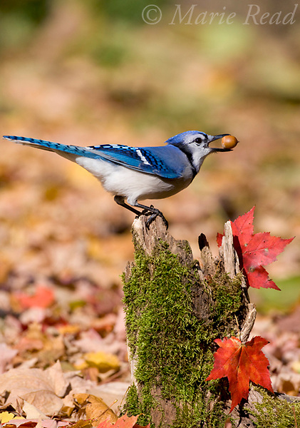 Blue Jay (Cyanocitta cristata) holding an acorn in autumn, New York, USA. Blue Jays store many acorns as a hedge against winter food shortages.