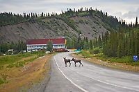 Moose stand in the Richardson Highway just south of the Paxon lodge, in Paxon, Alaska.