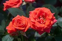 Rosa Salmon Sunblaze rose, orange miniature rose dwarf roses