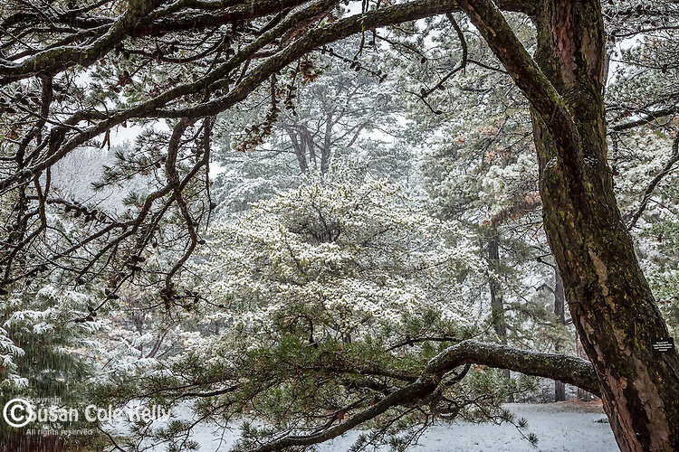 Table Mountain Pine at the Arnold Arboretum in the Jamaica Plain neighborhood, Boston, Massachusetts, USA